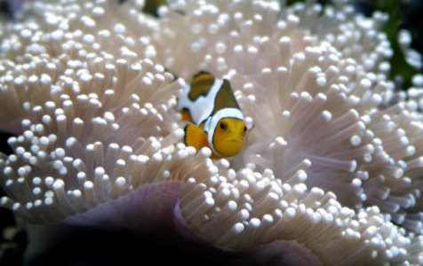 Picasso clownfish in anemone