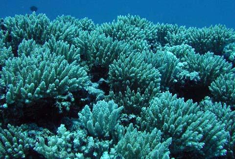 Endangered_stony_corals_captive_aquatics