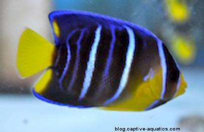 Tank-raised-regal-angelfish-sustainable-aquatics