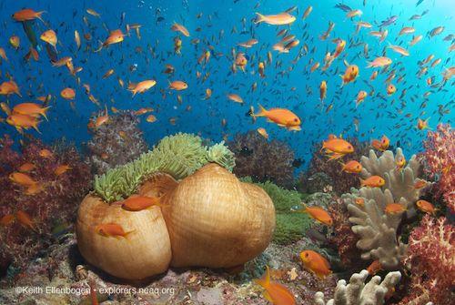 Fiji-riteri-anemone-anthias