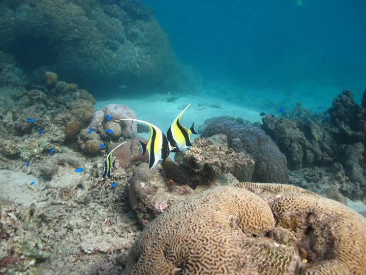 Moorish idol pair and blue damsels