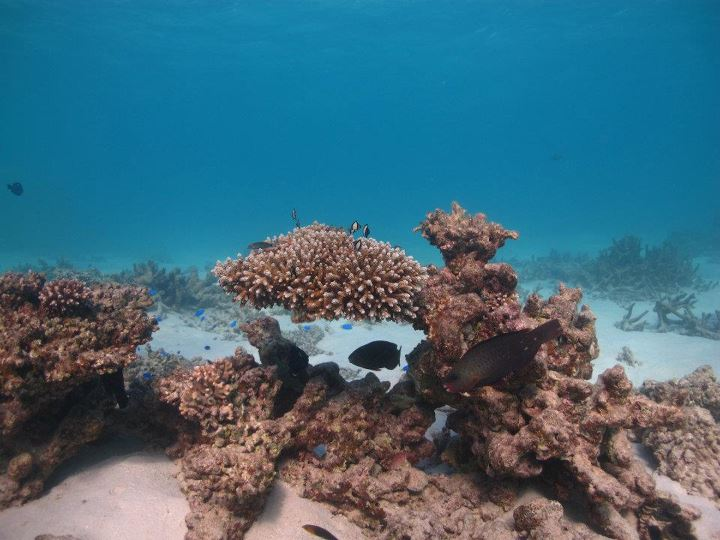 Parrotfish and acropora southern great barrier reef