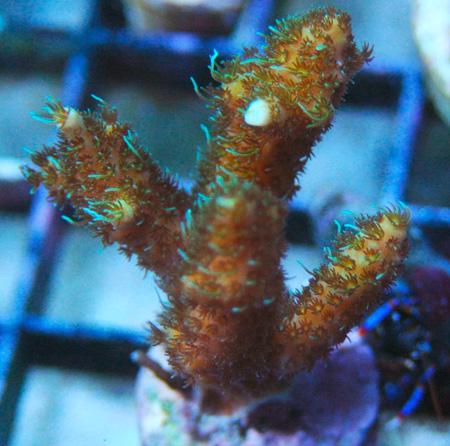 Fragging SPS coral