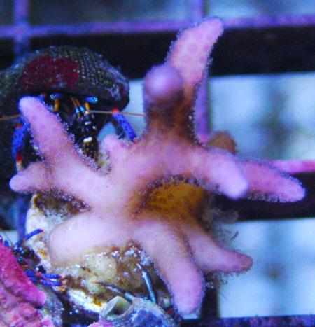 A birdsnest SPS coral frag