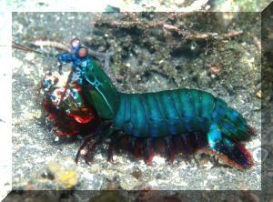 Odontodactylus scyllarus2 NSULMD