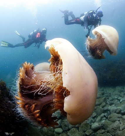 Giantjellyfish