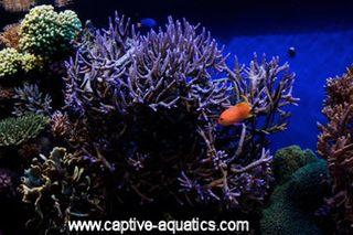 Monterrey_bay_reef_aquarium_purple_staghorn_coral