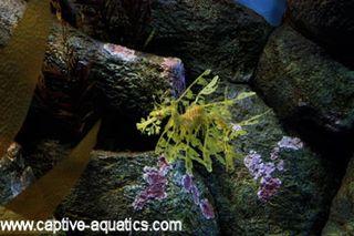 Monterrey_bay_leafy_sea_dragon_seahorse_exhibit