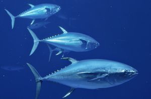 Atlantic_tuna_to_be_protected_in_italy