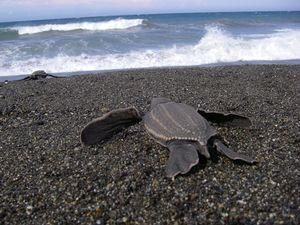 Leatherback_sea_turtle_NOAA