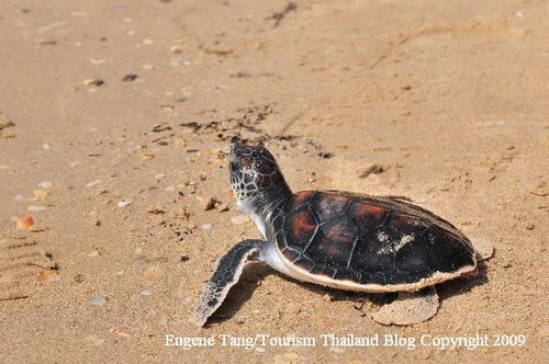 Thaliand_helps_green_and_hawskbill_sea_turtle_conservation_sea_turtle_hatchling