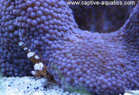 Sexy_shrimp_in_purple_haddoni_carpet_anemone