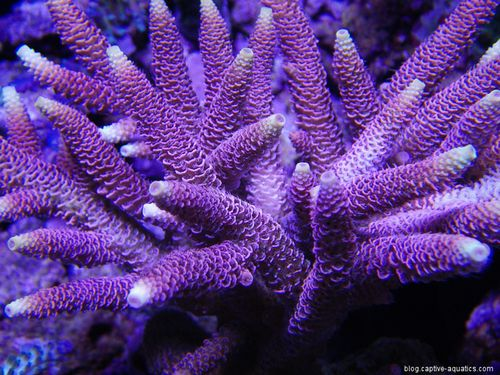 Pink-acropora-sps-under-orphek-led-lights-captive-aquatics