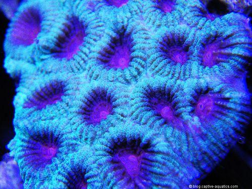 Favia-coral-under-orphe-pr-156-reef-aquarium-led-lighting
