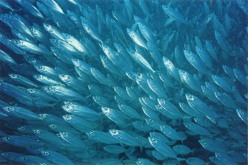 Fish-populations-rebound-after-bp-oil-spill-fishing-moratorium