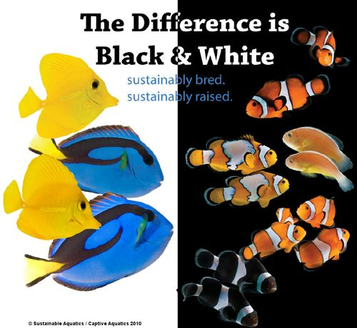 Sustainable_aquatics_captive_aquatics_tank_raised_clownfish_triggerfish_tangs