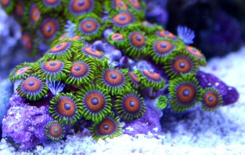 Eagle_eye_zoanthids