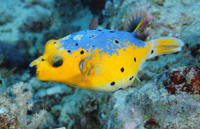 Golden-dog-face-puffer-arothron-nigropunctatus