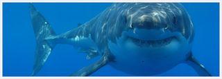 Great-white-shark2