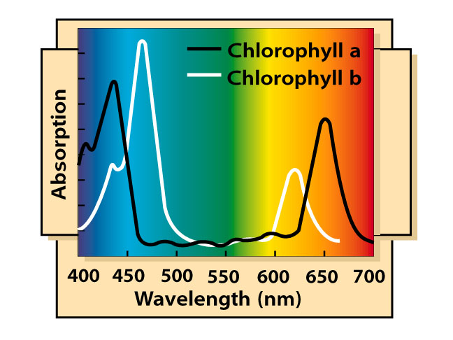 Chlorophyll a and b spectral absorption graph