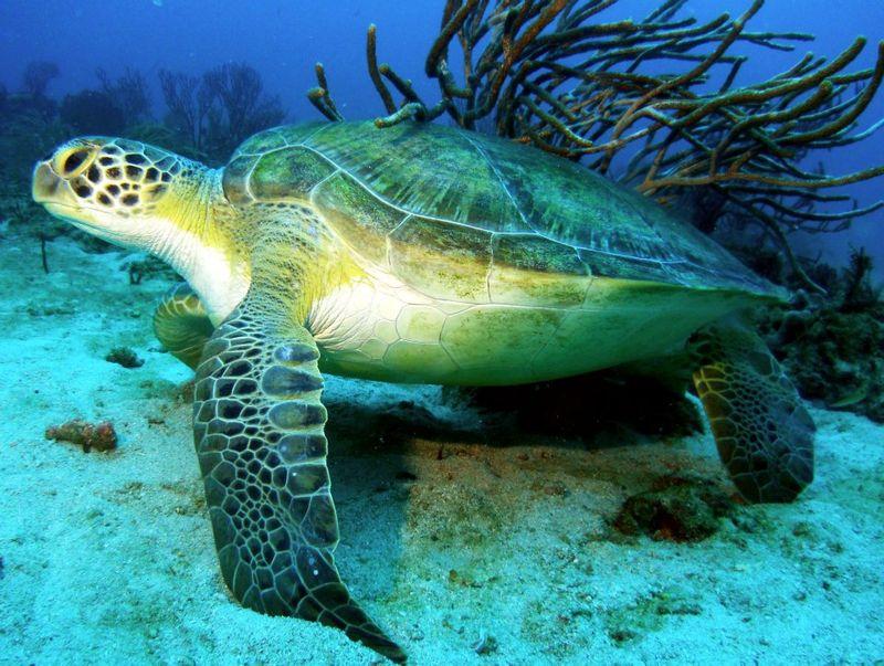 Green sea turtle flowergardens