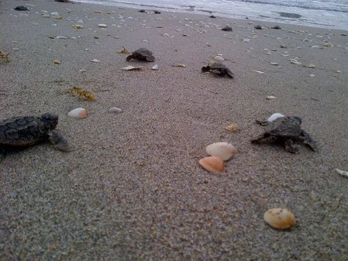 Baby loggerhead sea turtle hatchlings
