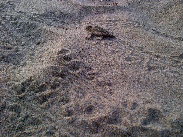 Baby loggerhead sea turtle tracks