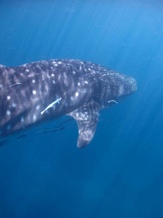 Whale shark in the southern great barrier reef